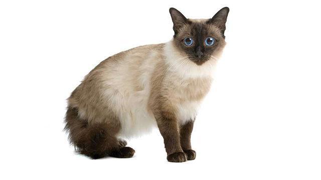 Балинезийская кошка с голубыми глазами