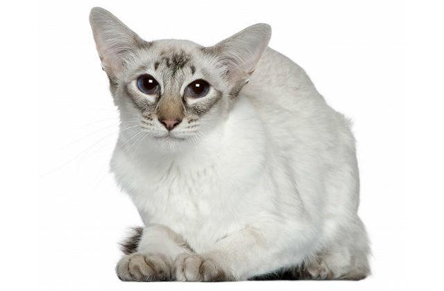 Балинезийская кошка - морда, голова