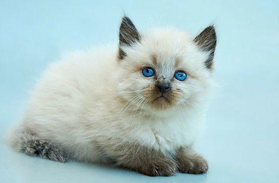 Балинезийская кошка - котенок
