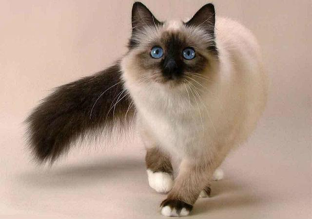 Балинезийская кошка - внешний вид