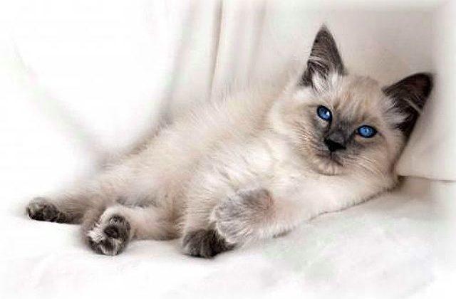 Балинезийская кошка - котенок в кресле