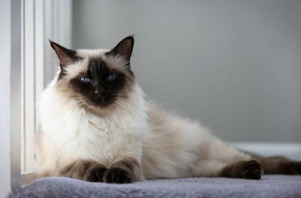 Балинезийская кошка дремлет