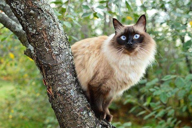 Балинезийская кошка на дереве
