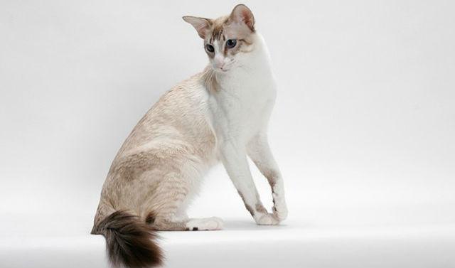 Балинезийская кошка - здоровье