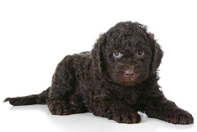 Самые необычные собаки - порода барбет