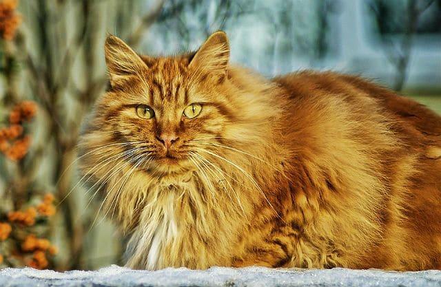 Длинношерстный рыжий кот