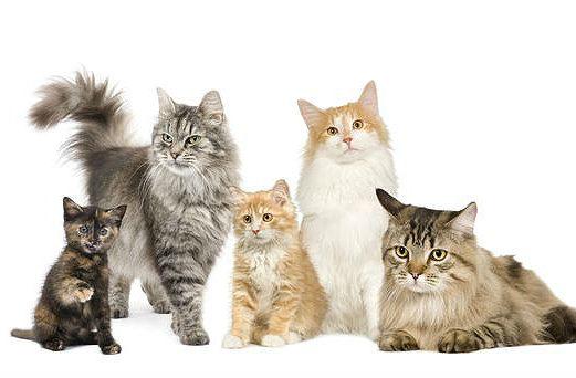 Беспородные породы кошек