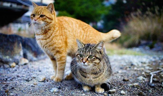 Кошки рыжая и серая