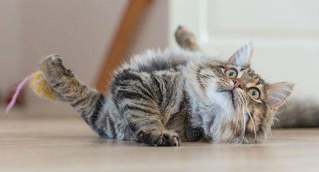 Домашняя беспородная кошка
