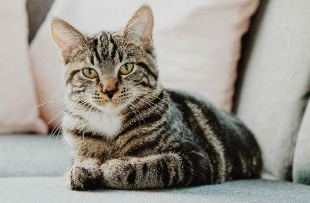 Серый полосатый котик