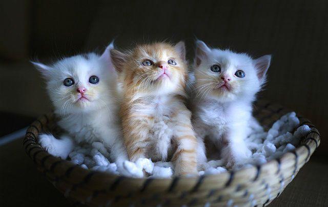 Три беспородных котенка
