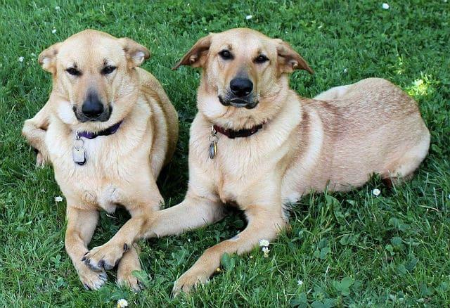 Самые необычные собаки - чинук