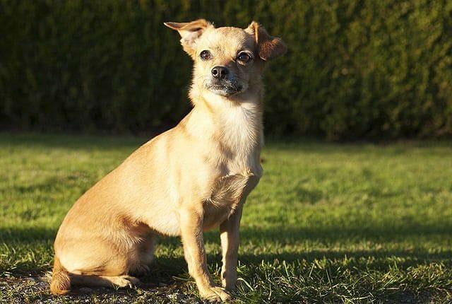Самые необычные собаки - чивини