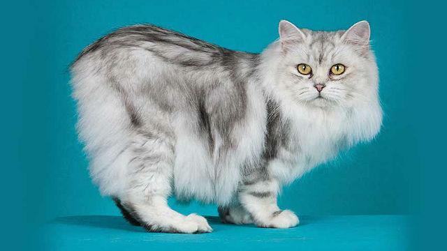 Полосатая кошка породы Кимрик