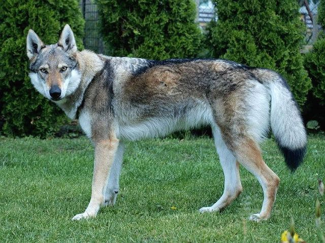 Чехословацкий волчак - редкая порода