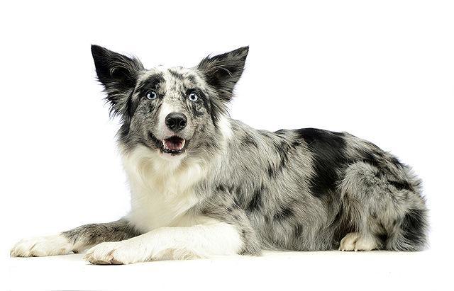 Джамен-кули - редкая порода собак