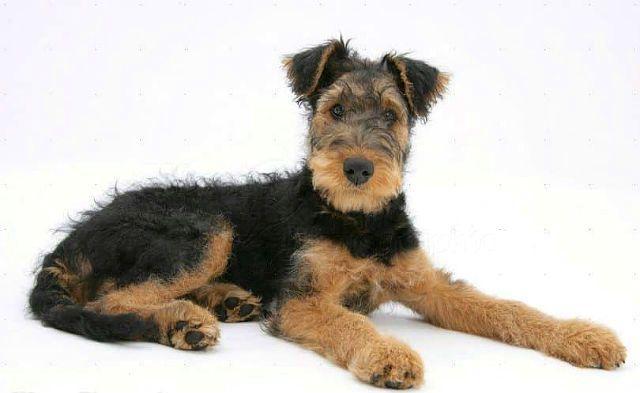 Вельштерьер - выбор щенка