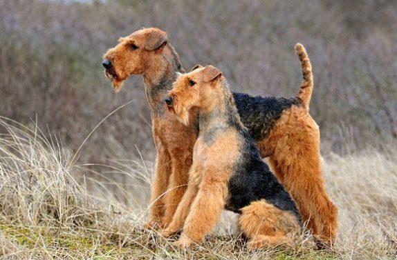 Две собаки породы Эрдельтерьер