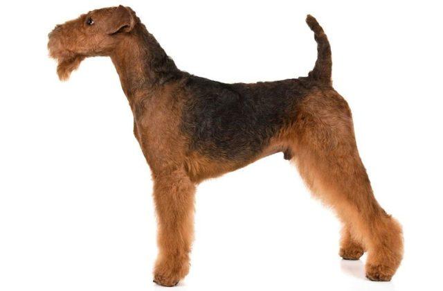Эрдельтерьер - взрослая собака