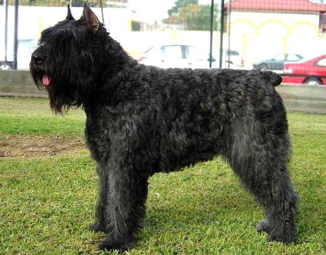Собака породы Фландрийский бувье