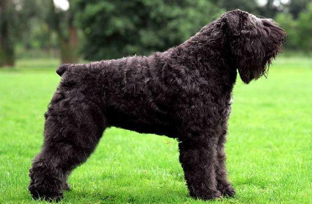 Собака Фландрийский бувье - гипоаллергенная порода