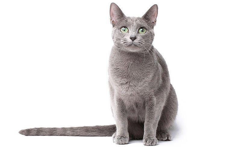 Русская голубая кошка - фото на главную