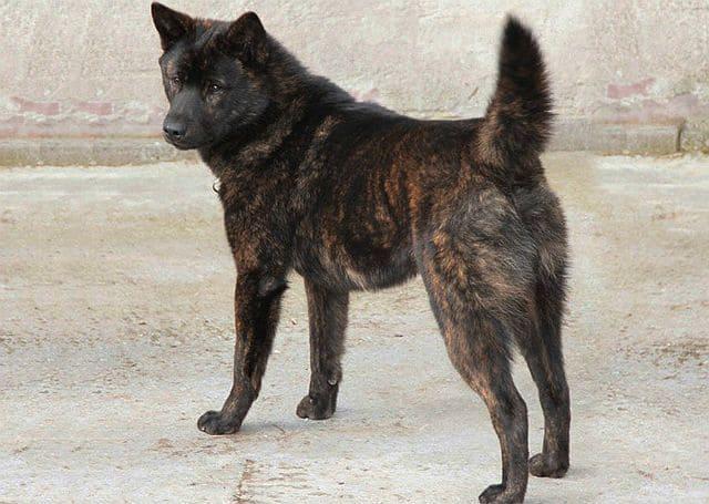 Самые необычные собаки - порода каи