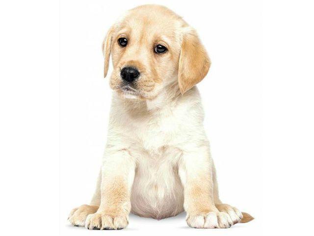 Как назвать щенка лабрадора - главное фото