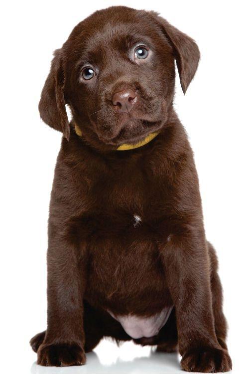 Выбор щенка лабрадора - внешний вид