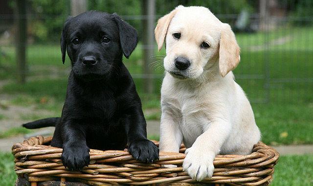 Выбор щенка лабрадора - девочка или мальчик