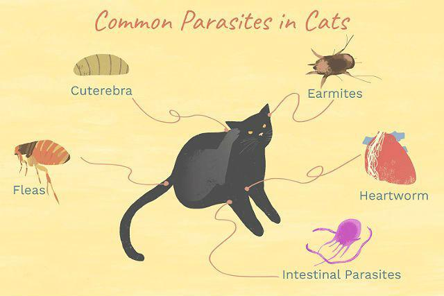 Паразиты у кошки