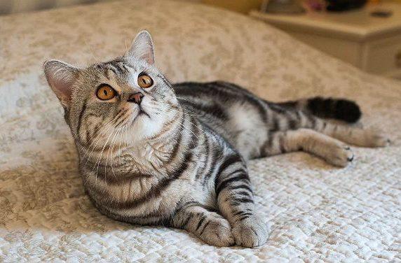 Короткошерстная американская кошка на кровати
