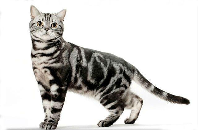 Американская короткошерстная - красивая порода кошки