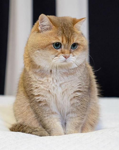 Кошка породы Британская Золотая шиншилла