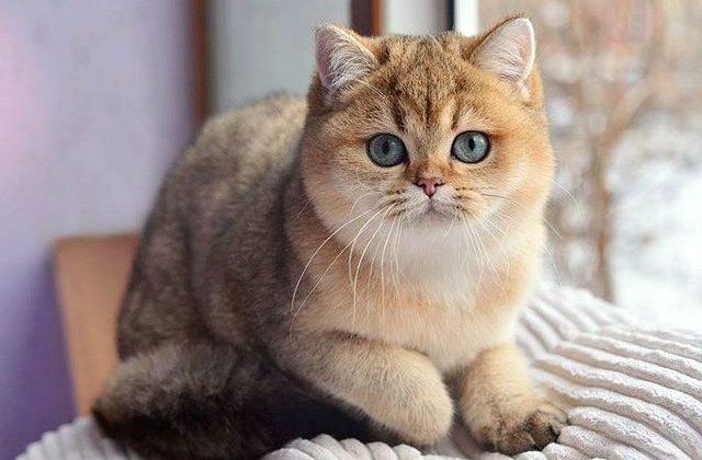 Кошка Золотая шиншилла у окна