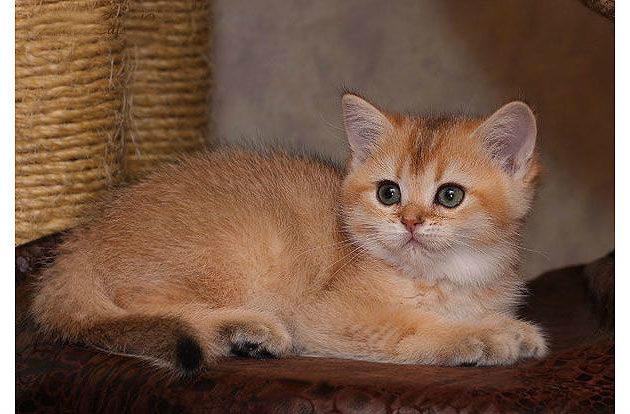 Котенок - gold шиншилла