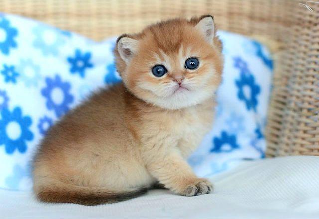Котенок Золотая шиншилла