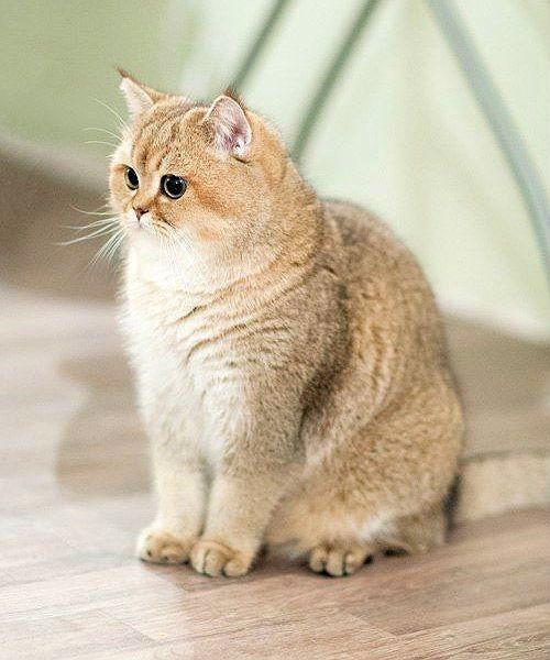 Кошка золотая шиншилла сидит на полу