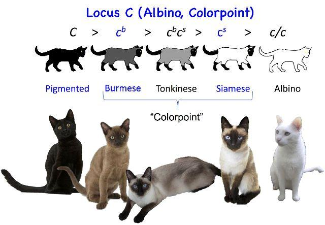 Кошки колор пойнт - генетика