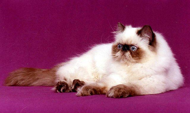 Кошка окраса Шоколад-пойнт