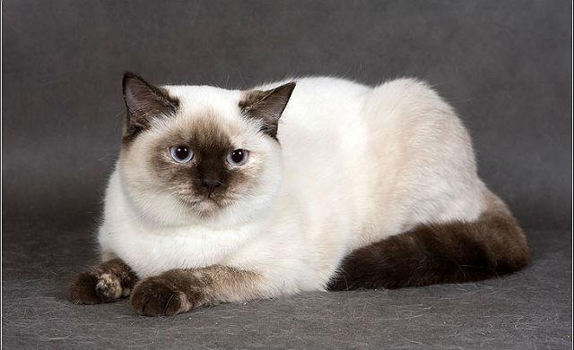 Кошка окраса Сил-пойнт