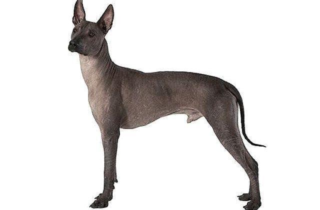 Ксолоитцкуинтли - гипоаллергенная порода собак