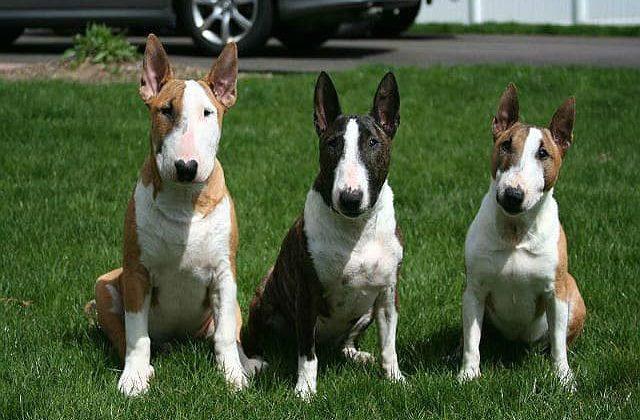 Три собаки - Миниатюрный бультерьер