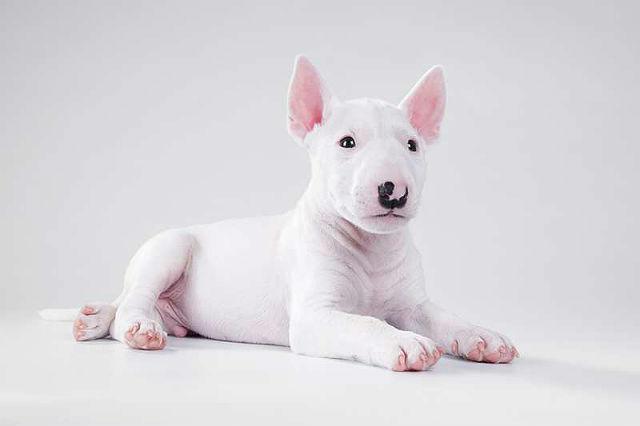 Миниатюрный бультерьер - выбор щенка