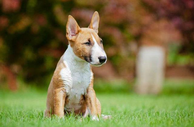 Миниатюрный бультерьер - щенок на лужайке