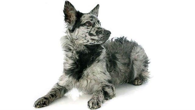 Самые необычные собаки - порода муди