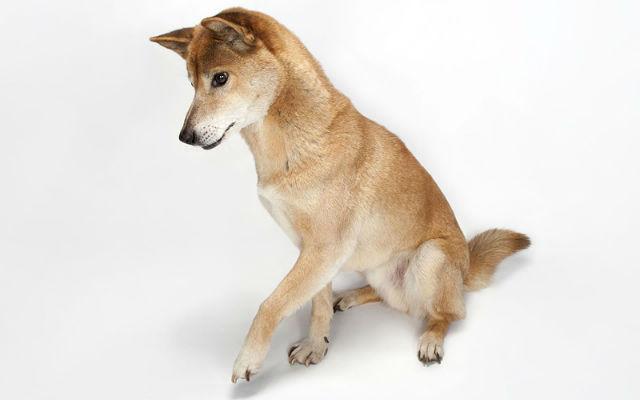 Новогвинейская поющая собака - самая редкая порода