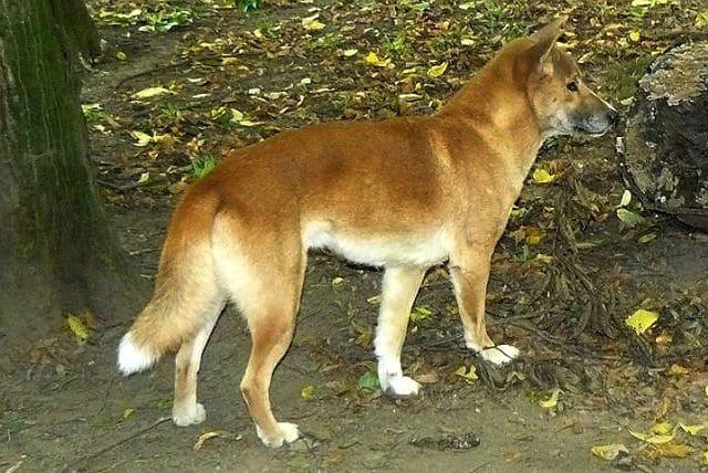 Редкая порода - Новогвинейская поющая собака