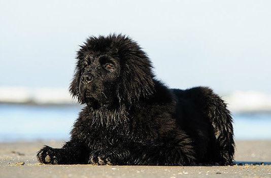 Ньюфаундленд водолаз - мокрый щенок