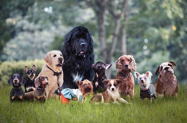 Ньюфаундленд водолаз с командой собак